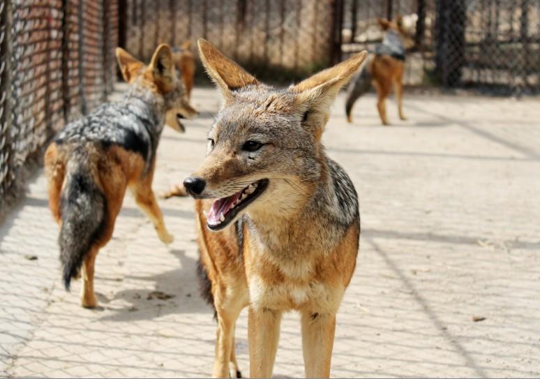 青岛森林野生动物世界动管部经理张双歌说