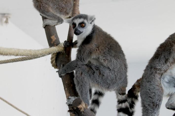 青岛野生动物世界非洲部落再添新成员