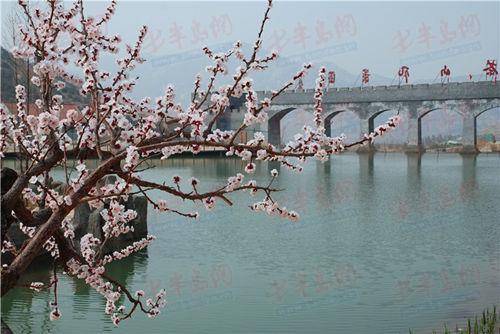 """新闻中心 青岛 > 正文    """"连翘花是我国一种名贵的野生花木,在茶山"""