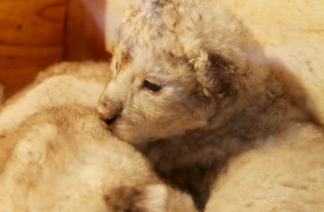 青岛森林野生动物世界五只新生小狮子八月将与游客见面