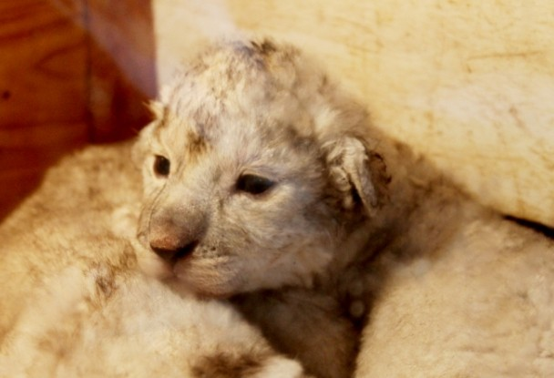 商讯:青岛森林野生动物世界五只新生小狮子八月将与游客见面