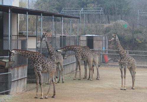 """青岛森林野生动物世界喜讯:长颈鹿住上""""豪华版""""新家"""