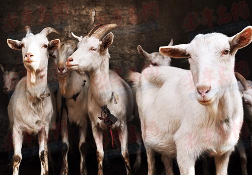 近日,青岛野生动物世界引进了大量奶山羊,市民朋友可以近距离与羊宝宝