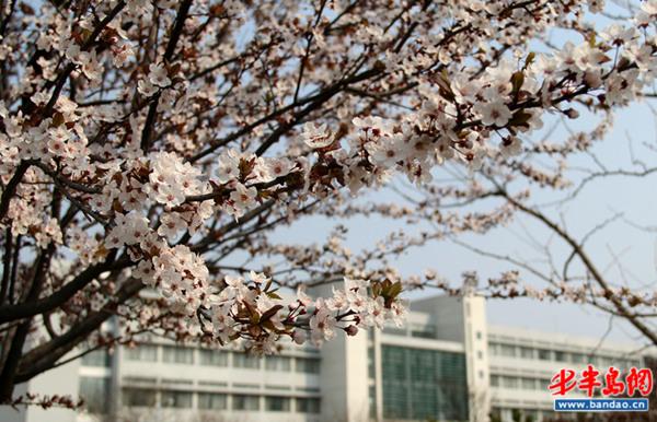 青岛大学春天图片
