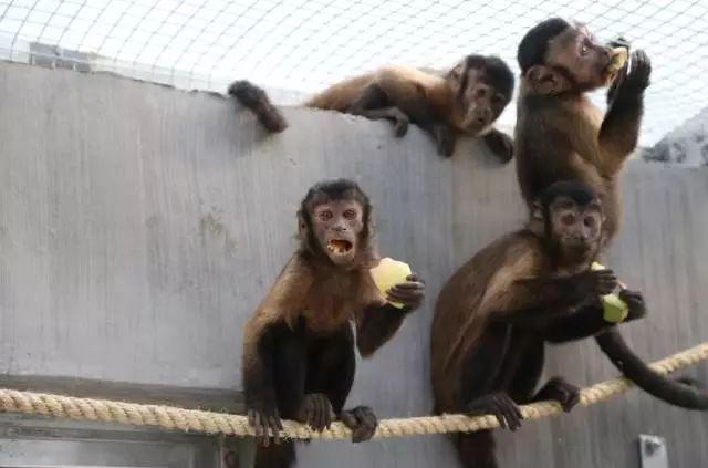春节即将来临,青岛森林野生动物世界为迎接猴年的到来,上演全新大动作,大圣归来,新猴迎春嗨翻天。   猴年春节来临之际,青岛森林野生动物世界传来喜讯,大批美猴王落户岛城,将正式与市民见面。   据悉,青岛森林野生动物世界迎猴年,特从原产地引进了10只黑帽悬猴,10只松鼠猴。黑帽悬猴为6公4母,松鼠猴为3公7母,均为优良品种,观赏性极高。这20只小猴王,乘车16小时到达岛城,途中工作人员细心照料,保证6小时一次喂食喂水。27日当天到达岛城后,群猴身体状况良好,进食、进水正常,经过医生体检后,放进新家